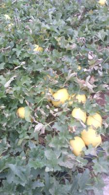 Melon amarillo Cheste tratado con productos biotecnologicos