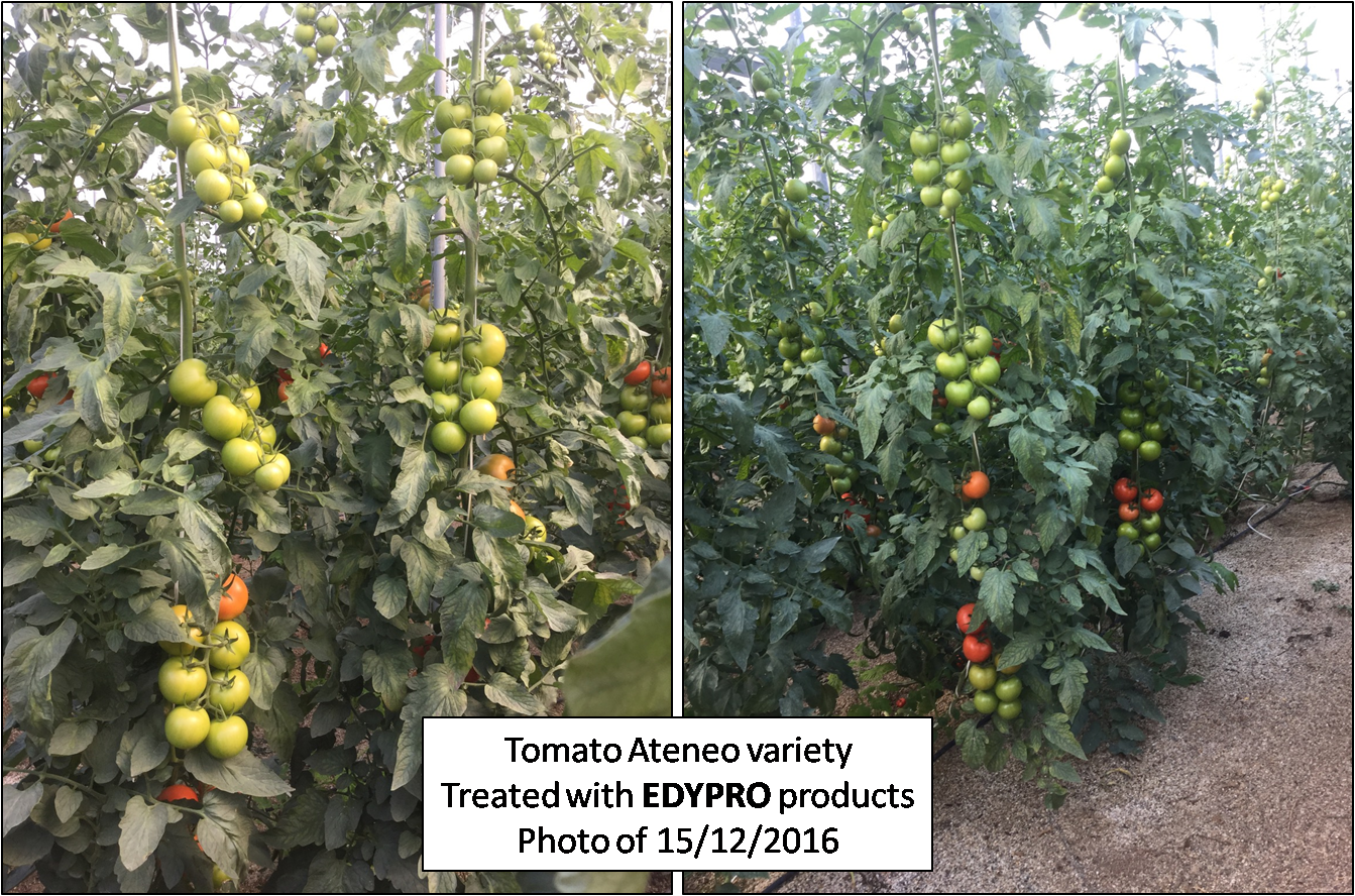 Tomato treated with biotec products of EDYPRO