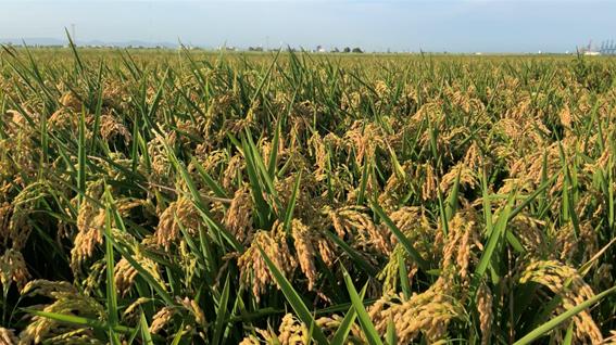 cultivo arroz campo biotencología edypro podium arroz